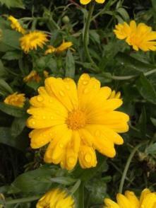 Gelbe_Ringelblume_Wassertropfen